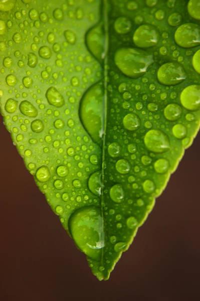 Water Droplets On Lemon Leaf Poster