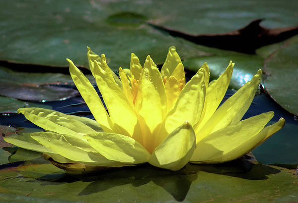Poster featuring the photograph Water Lily by Alison Frank