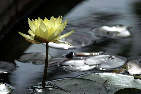 Water Lily And Silver Leaves Poster
