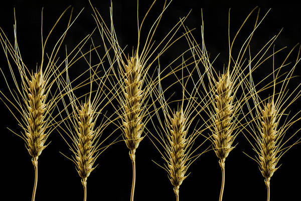 Wheat In A Row Poster