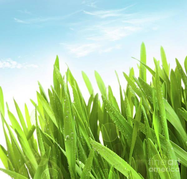 Wheatgrass Against A White Poster