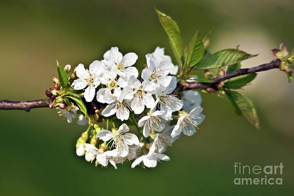 White Apple Blossoms Poster