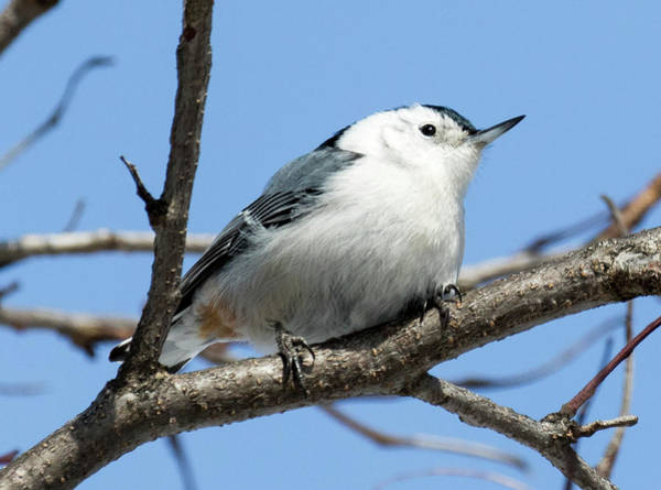 White-breasted Nuthatch Perched Poster