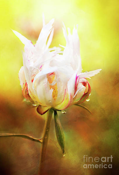 White Chinese Peony Laden With Raindrops Poster