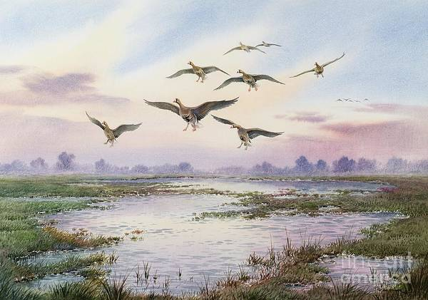 White-fronted Geese Alighting Poster