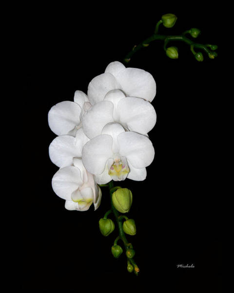 White Orchids On Black Poster