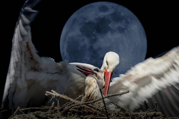 White Storks Of Fagagna With Full Moon Poster