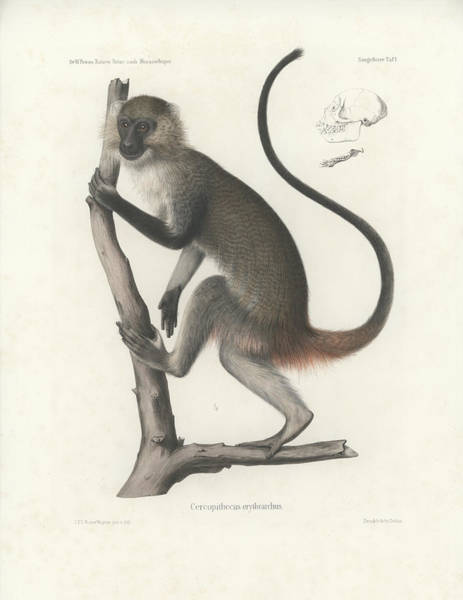Poster featuring the drawing White Throated Guenon, Cercopithecus Albogularis Erythrarchus by J D L Franz Wagner