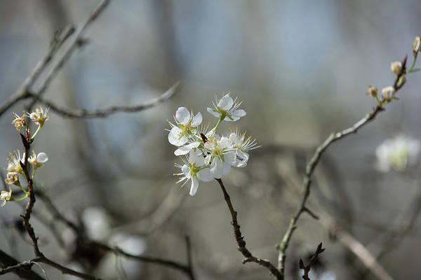 White Tree Bud Poster