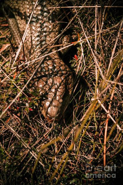 Wild Australian Blue Tongue Lizard Poster
