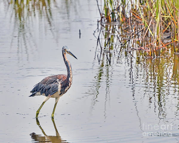 Wild Birds - Tricolored Heron Poster