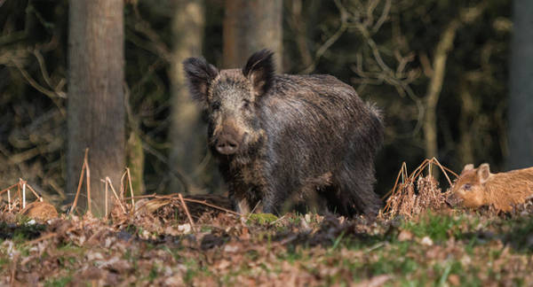 Wild Boar Sow And Young Poster