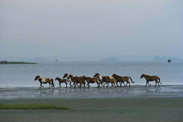 Wild Chincoteague Ponies Run Poster