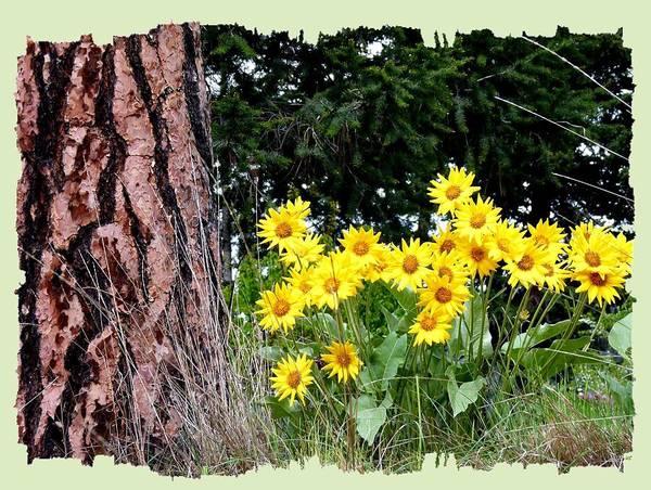 Wild Oyama Sunflowers Poster