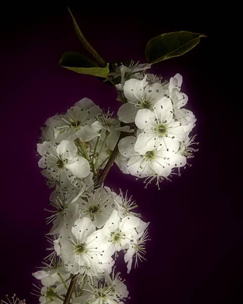 Wild Plum Blooms Poster