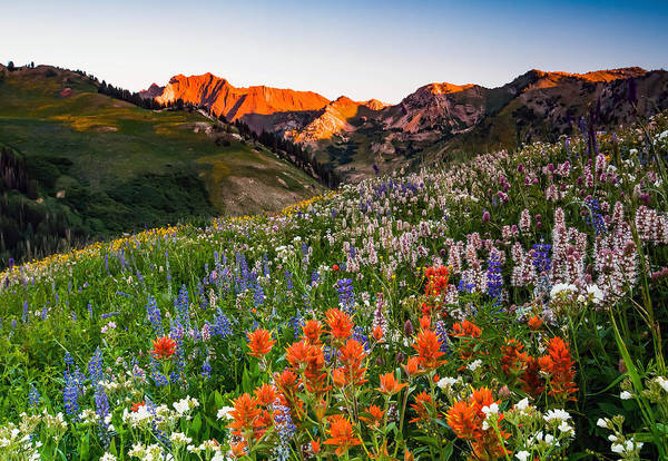 Wildflowers In Albion Basin. Poster