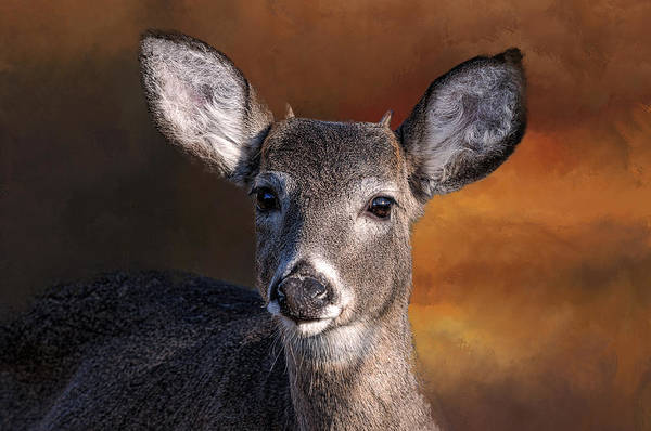 Wildlife - Button Buck - Deer Poster