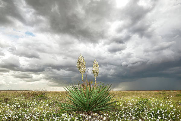 Wildorado Yucca Poster