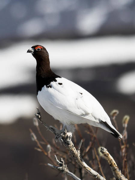 Willow Ptarmigan Poster