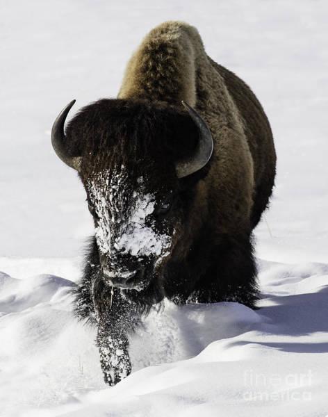 Winter Bison Walks Poster