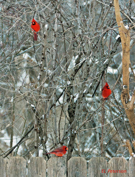 Winter Cardinals Poster