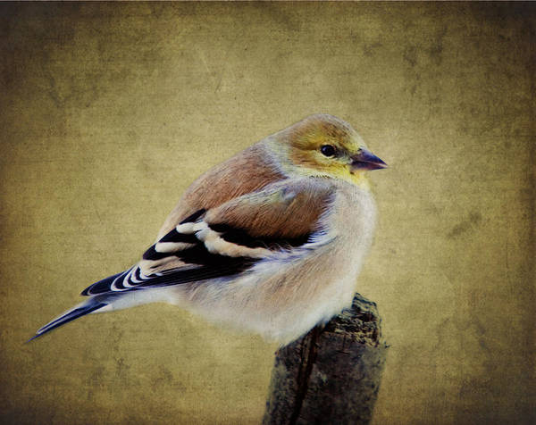 Winter Goldfinch Poster