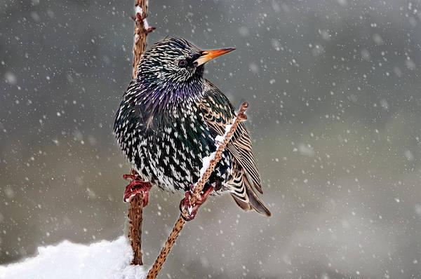 Winter Starling 2 Poster