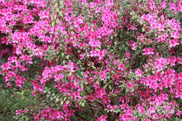 Wonderful Pink Azaleas Poster