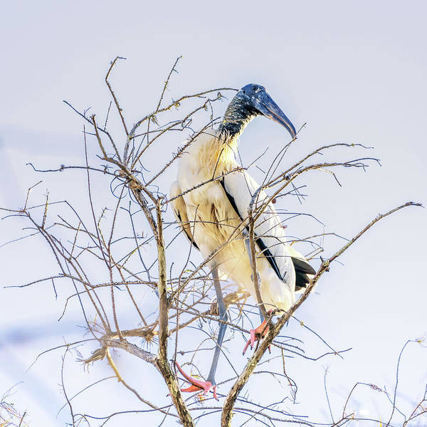 Wood Stork Sitting In A Tree Poster