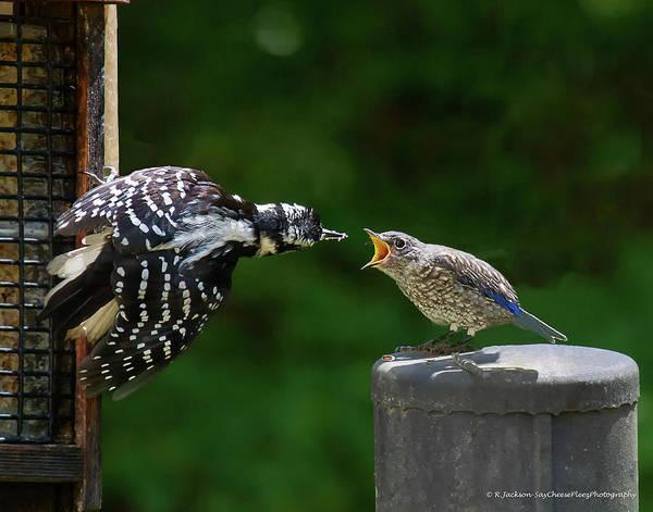 Woodpecker Feeding Bluebird Poster