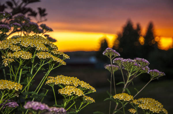 Yarrow At Sunset Poster