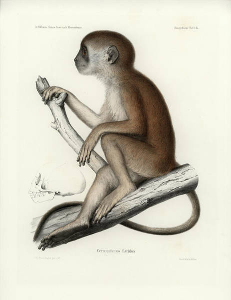 Poster featuring the drawing Yellow Baboon, Papio Cynocephalus by J D L Franz Wagner