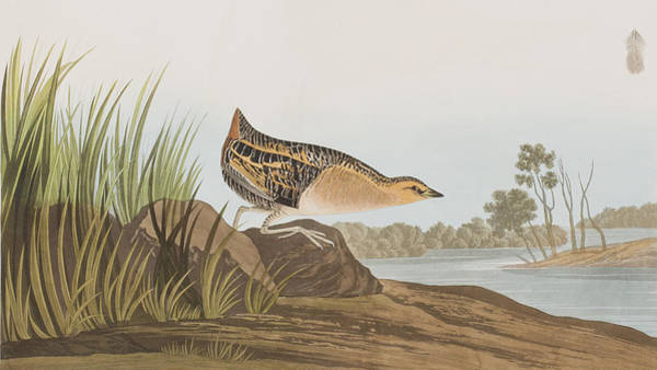 Yellow-breasted Rail Poster