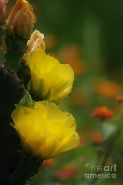 Yellow Cactus Flower Poster