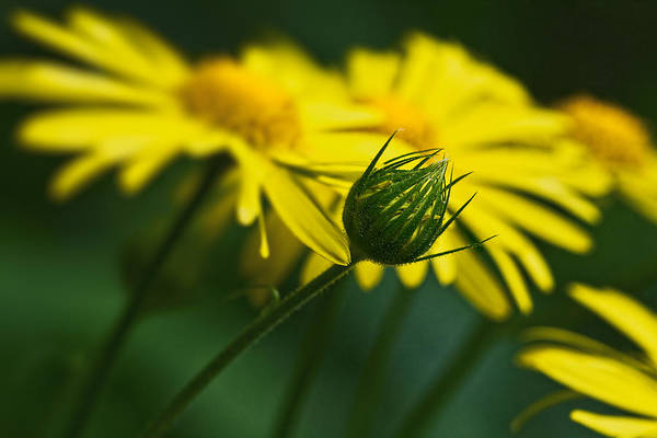 Yellow Daisy Bud Poster