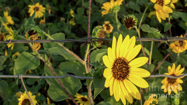 Yellow Flower Escaping From A Barb Wire Fence Poster