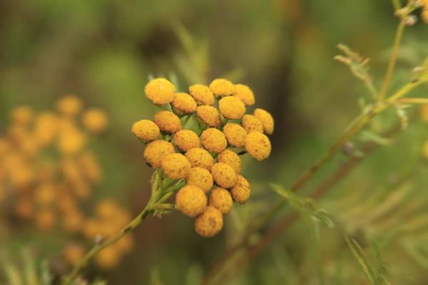Yellow Garden Tansey Poster