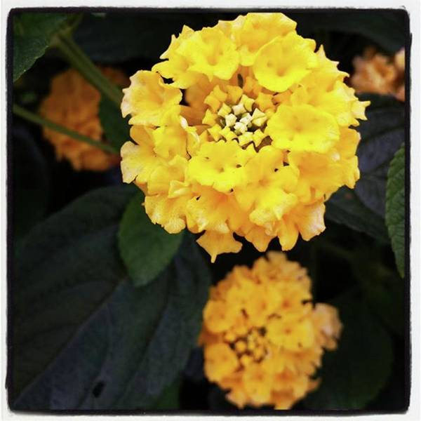 Poster featuring the photograph Yellow Lantanas Along The Scenic Drive by Mr Photojimsf