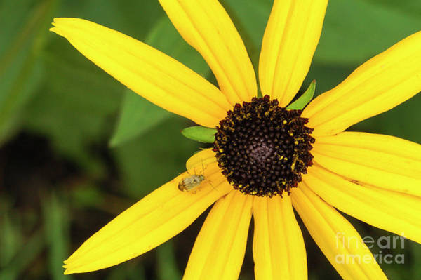Yellow Petaled Flower With Bug Poster