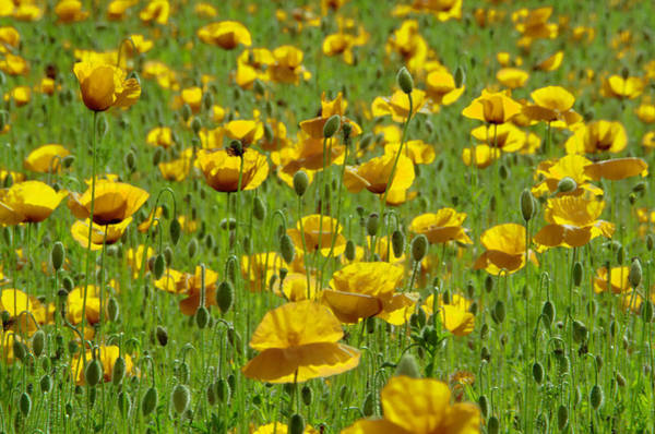 Yellow Poppy Field Poster