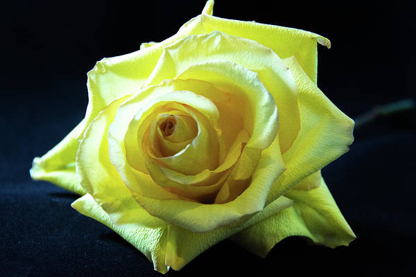 Yellow Rose-7 Poster