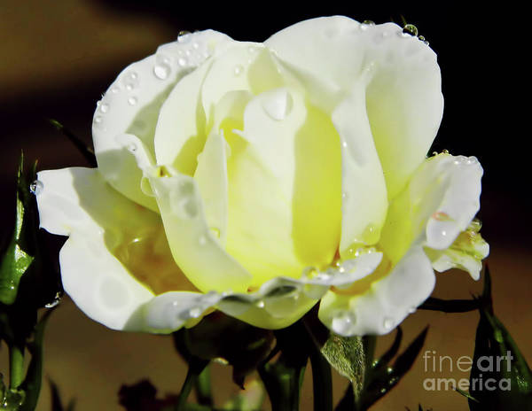 Yellow Rose Dew Drops Poster