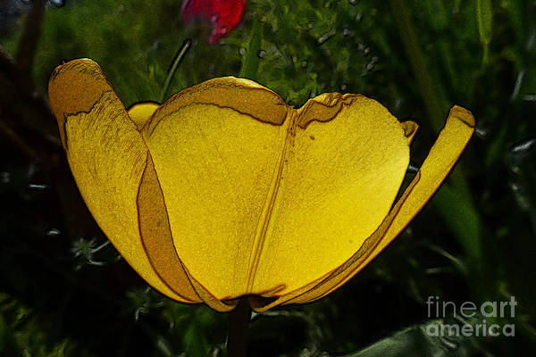 Yellow Tulip 2 Poster