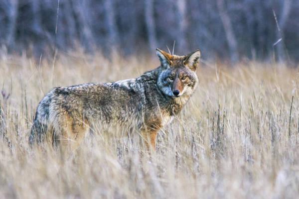 Yosemite Valley Coyote Poster