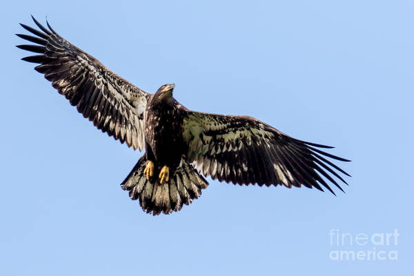 Young Bald Eagle Flight Poster