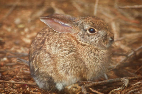 Young Cottontail In The Morning Poster