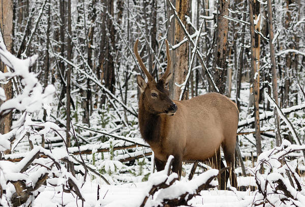Young Elk Poster