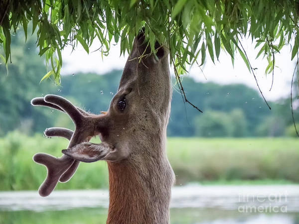 Young Red Deer Stag - Cervus Elaphus - In Velvet Antlers, Browsing Poster