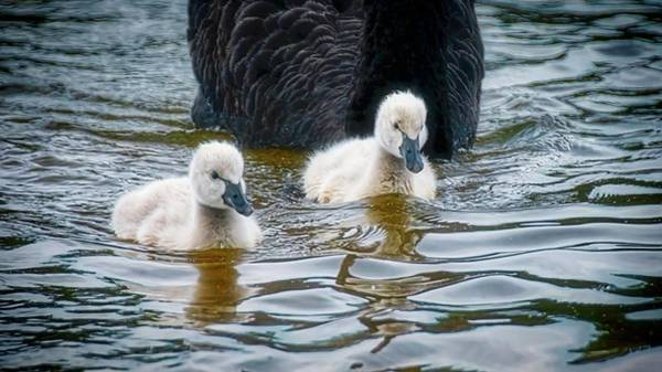 Young 'uns, Black Swan Cygnets Poster