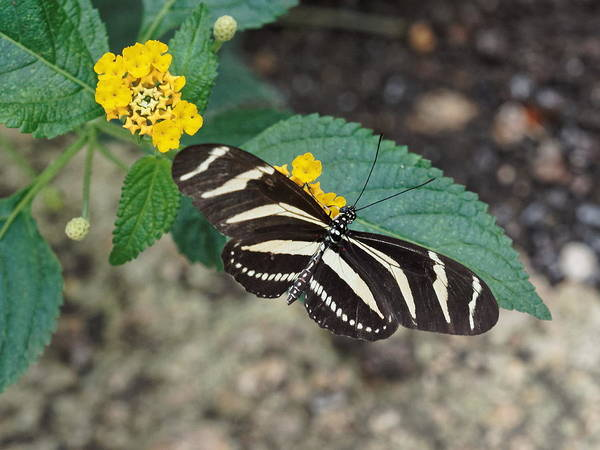 Poster featuring the photograph Zebra Longwing Butterfly - 1 by Paul Gulliver